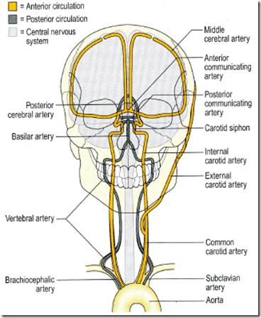 Vascular anatomy of the brain